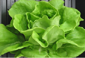 Elton-Butter head lettuce