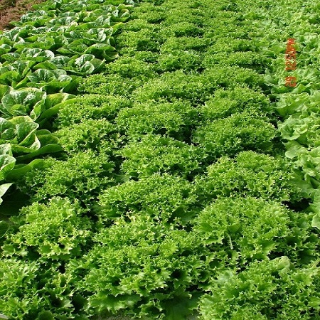 Multi-Green Leaf lettuce